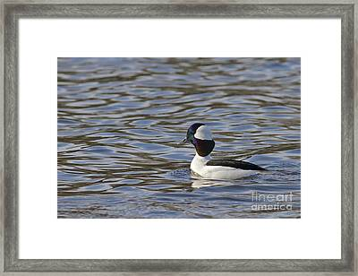Bufflehead Duck Framed Print