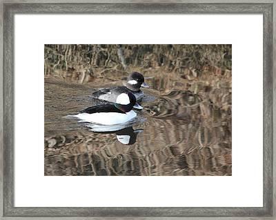 Bufflehead Pair Framed Print