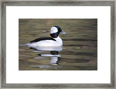 Bufflehead Framed Print