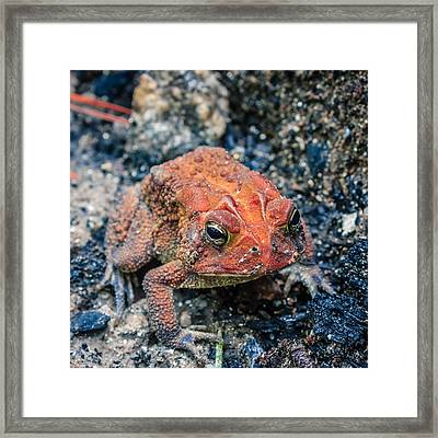 Framed Print featuring the photograph Bufo Terrestris by Rob Sellers