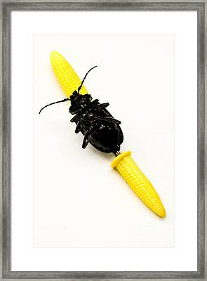 Bug On The Cob Framed Print by Amy Cicconi