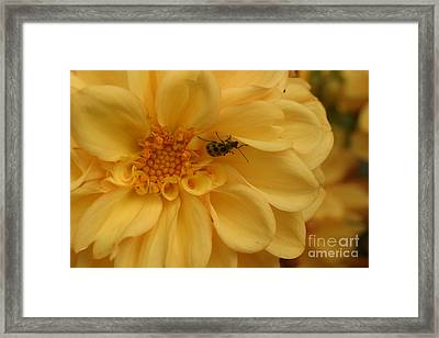 Bugged Dahlia Framed Print