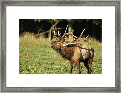 Bugleing Elk Framed Print