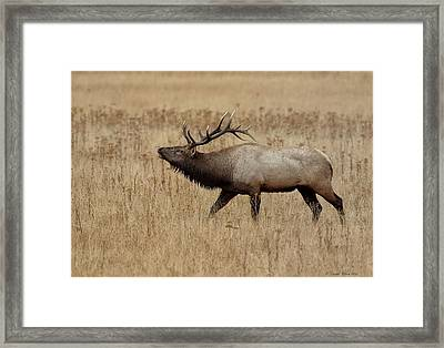 Bugling Bull Framed Print by Daniel Behm
