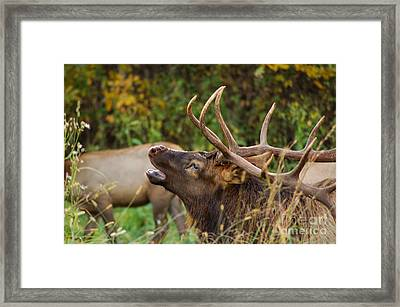 Bugling Bull Elk Framed Print