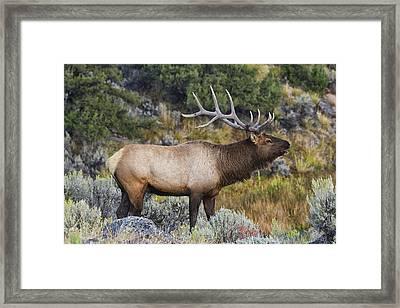 Bugling Bull Framed Print by Mark Kiver