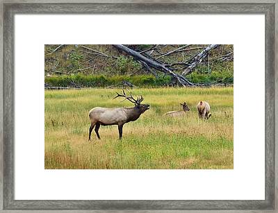 Framed Print featuring the photograph Bugling Over Harem by Yeates Photography
