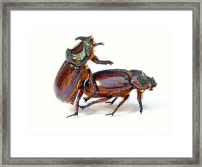 Bugs Sex Framed Print by Sinisa Botas