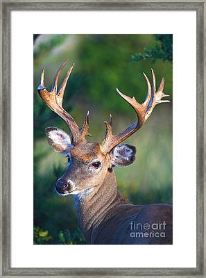 Buck Posing Framed Print by Jane Axman