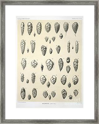 Bulimina Foraminifera, Hms Challenger Framed Print