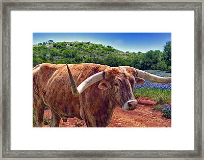 Bull And Bluebonnets Framed Print by David and Carol Kelly