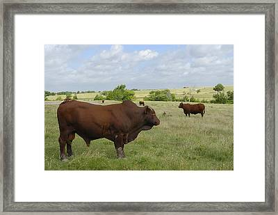 Framed Print featuring the photograph Bull And Cattle by Charles Beeler