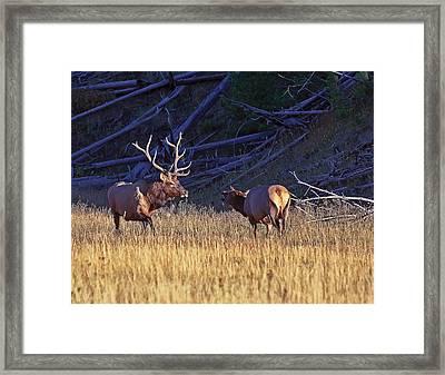 Bull And Cow Elk Framed Print