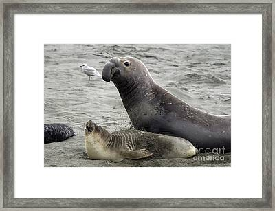 Bull Approaches Cow Seal Framed Print by Mark Newman