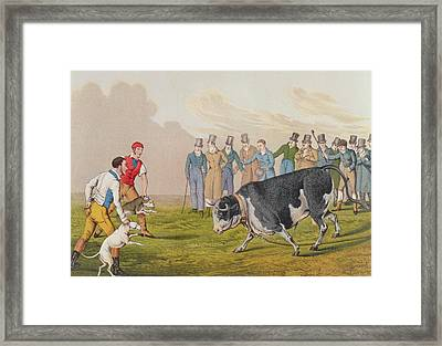 Bull Baiting Framed Print by Henry Thomas Alken