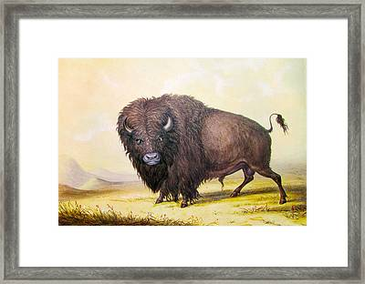 Bull Buffalo Framed Print by George Catlin
