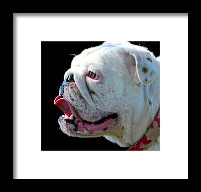English Bull Dog Framed Prints