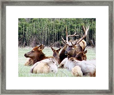 Bull Elk And His Girls 2 Framed Print