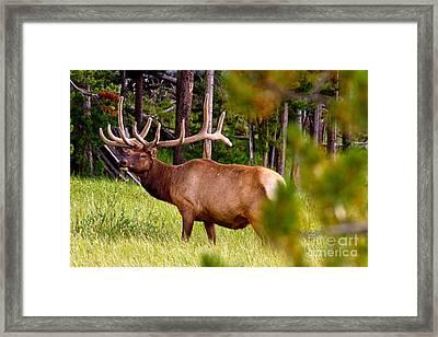 Bull Elk Framed Print by Bill Gallagher