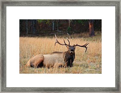 Bull Elk Bugler Framed Print by Leslie Kirk