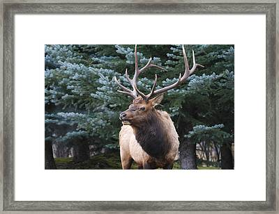 Bull Elk By Blue Spruce Framed Print