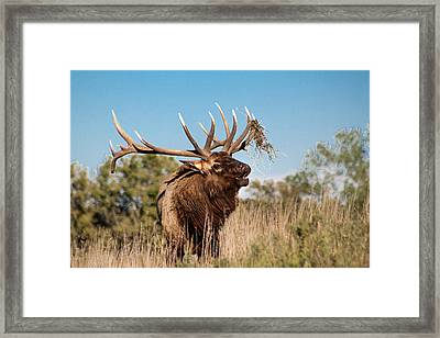 Bull Elk Call Framed Print