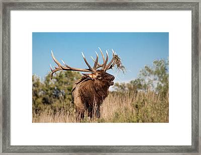Bull Elk Call Framed Print by Dawn Romine
