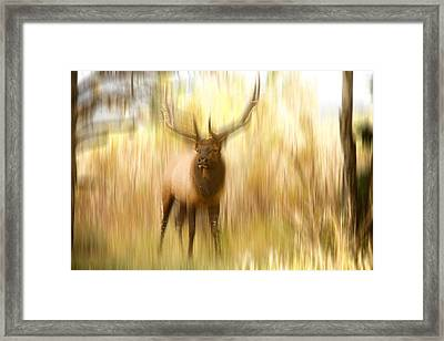 Bull Elk Forest Dreaming Framed Print by James BO  Insogna