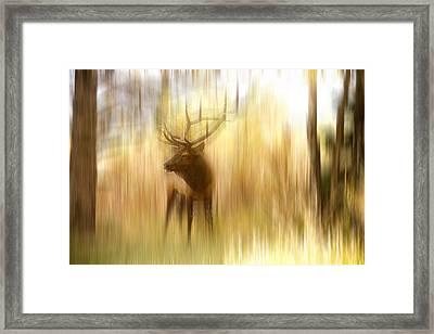 Bull Elk Forest Gazing Framed Print by James BO  Insogna