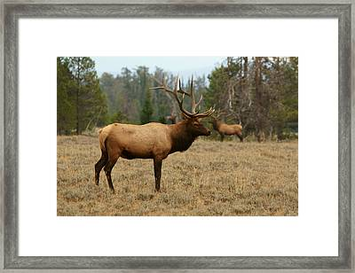 Bull Elk In Grand Teton Np Framed Print by Jeremy Farnsworth