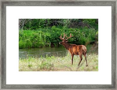 Bull Elk In The National Bison Range Framed Print