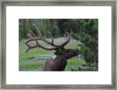 Bull Elk In Velvet Framed Print by Edward R Wisell