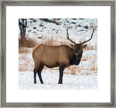 Bull Elk  Framed Print by Jeff Swan