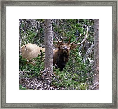 Bull Elk Looking At Me Framed Print