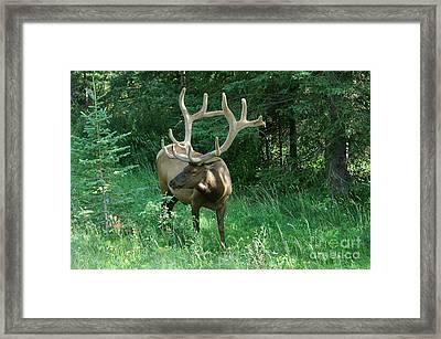 407p Bull Elk Framed Print