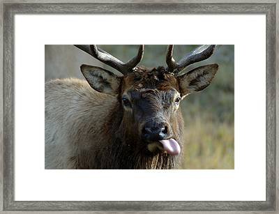 Bull Elk Raspberries Framed Print