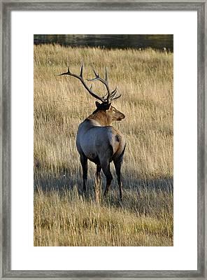 Bull Elk Surveying His Harem Framed Print by Bruce Gourley