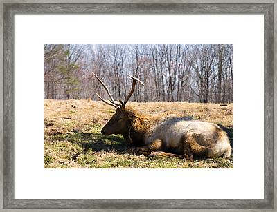 Bull Elk Wakes For A Moment Framed Print by Chris Flees