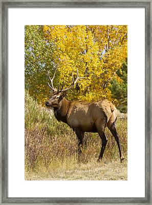 Bull Elk With Autumn Colors Framed Print by James BO  Insogna