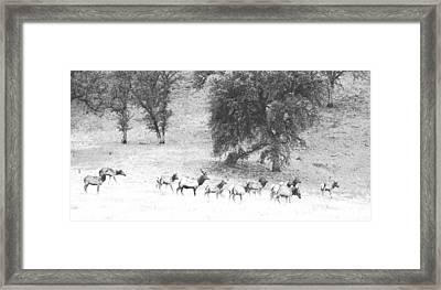 Bull Elk With Harem Framed Print