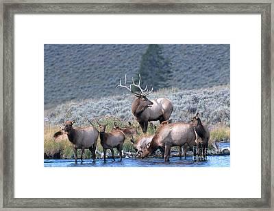 Bull Elk With Harem Framed Print by William H. Mullins