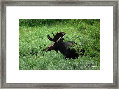 Bull Moose 1 Framed Print