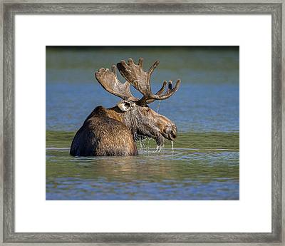 Framed Print featuring the photograph Bull Moose At Fishercap by Jack Bell