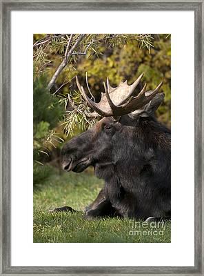 Bull Moose At Rest Framed Print by Earl Nelson