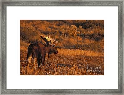 Bull Moose At Sunset Framed Print by Tim Grams