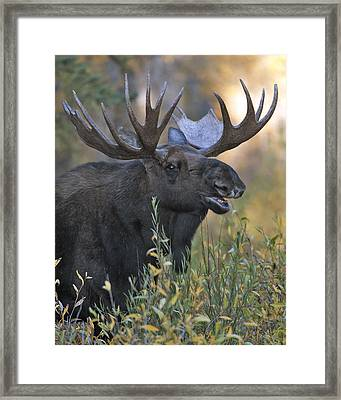 Bull Moose Calling Framed Print by Gary Langley