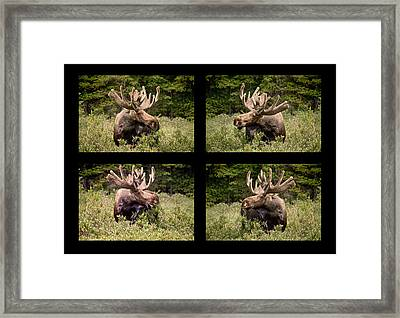 Bull Moose Collage Framed Print by James BO  Insogna