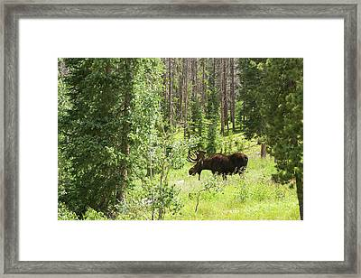Bull Moose Grazing In Mountain Forest Framed Print by Jim West