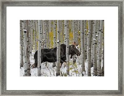 Bull Moose In Autumn Framed Print by Leland D Howard