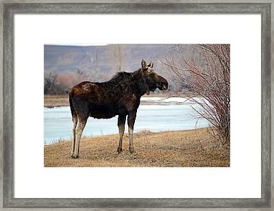 Bull Moose In Late Winter #1 Framed Print